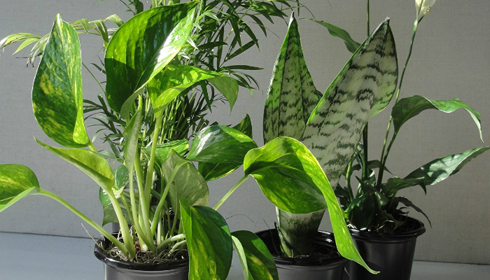 stylist lily house plant. Also Great  Emeritus Gardens Four Best Clean Air Plants Collection Indoor Plant Smart Home Keeping